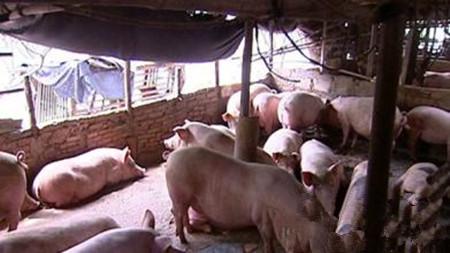 冬季猪场如何防控冷应激
