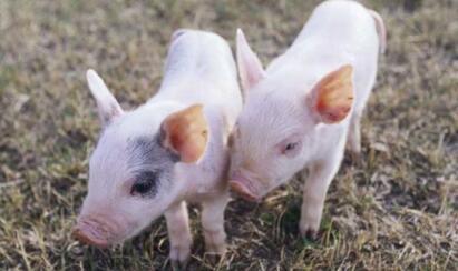 下跌有限,本周末猪价或迎来节前最后一涨