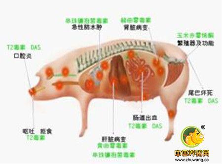 霉菌毒素时常侵蚀畜禽的健康,你hold住吗?
