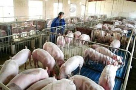 养猪舍建设十项注意点