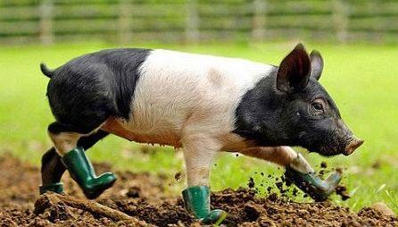 2017年1月18日(20至30公斤)仔猪价格行情走势