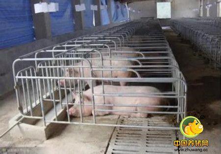 母猪发病前一直再传递信号,你却视而不见