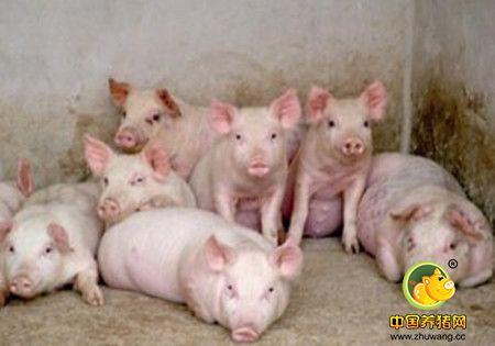 冬季肥猪顽固性腹泻的最主要原因在哪里?