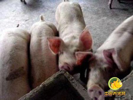 万头猪场各阶段猪群管理要点!统统说给你