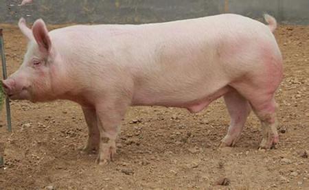 2016年哪些病毒性猪病是猪场常发的?