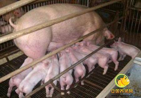 利用机器视觉技术进行母猪分娩检测