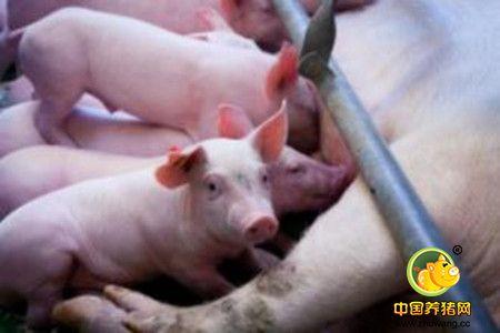 猪的肠道菌群与健康