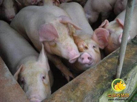 如何防治母猪子宫炎