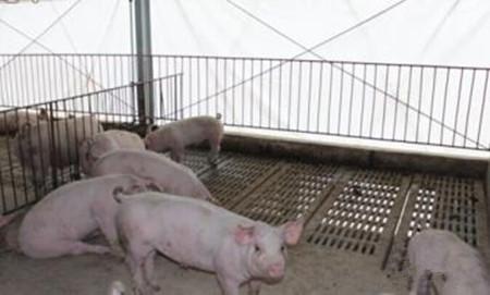 猪为什么会发烧?应该怎么退烧?这里告诉你小诀窍!