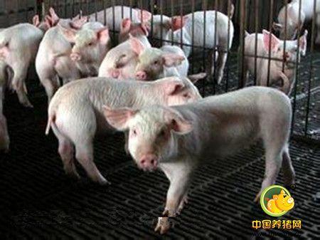 规模化猪场母猪不发情原因及处理