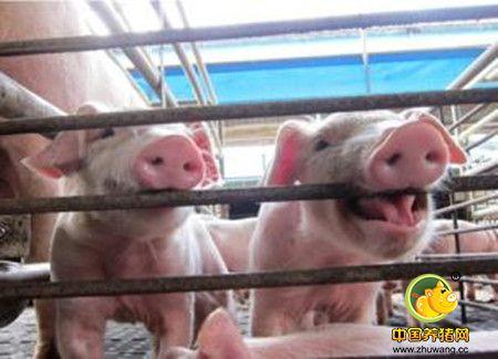 科技母猪使用有机铁是否可以解决仔猪缺铁性贫血?