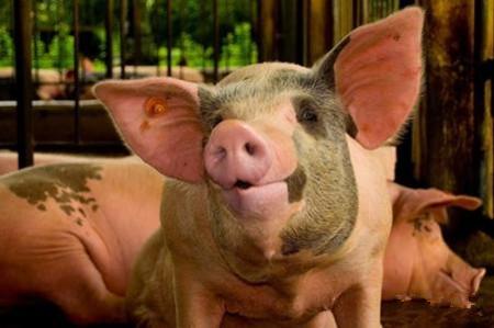 哺乳仔猪早期补饲的重要性及操作规程