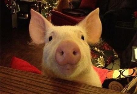 爱笑的猪,运气都不会太差?!!无论你胖成啥样,我们都爱你…