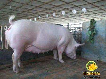 母猪的妊娠