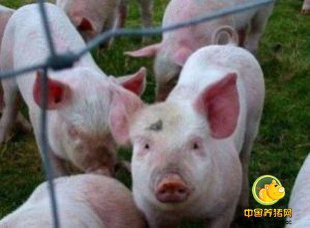 养猪场生猪猝死症病因浅析及对策