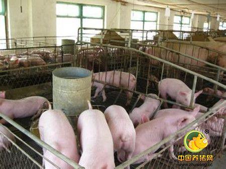 农村规模化养猪,应该注意哪些问题?