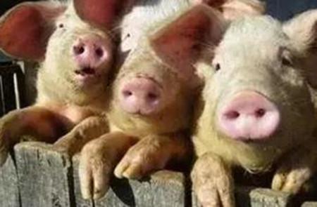 整体来看生猪市场供需博弈激烈,短期预计涨跌两难