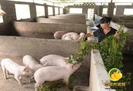 """青饲料发酵喂猪""""三法"""""""