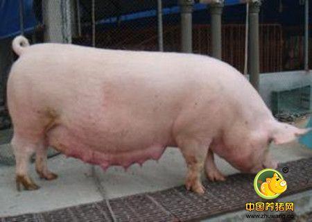 猪人工授精能够带来哪些利益?