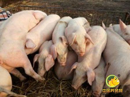 选购苗猪应把握的原则