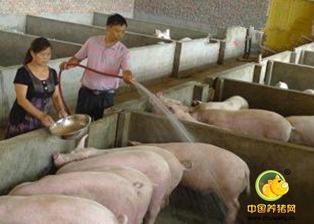母猪和育肥猪饲养过程需要注意的问题
