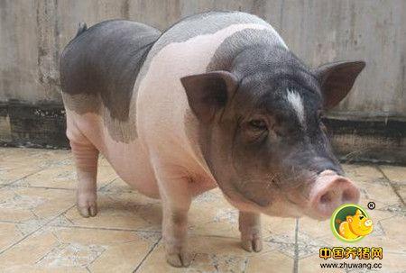 夏季母猪热应激综合征的综合防控