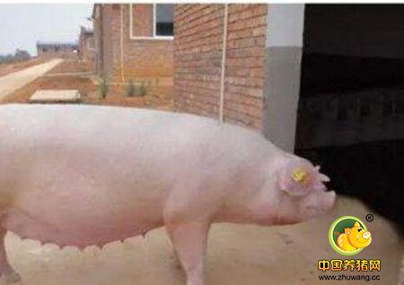 如何缩短母猪产程 减少死胎发生