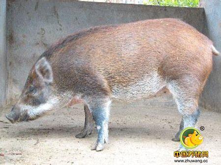 特种野猪咋接产
