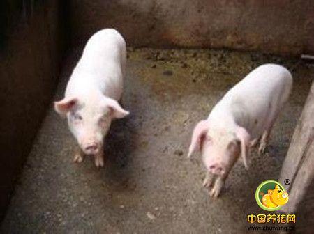 猪到底浪费了多少饲料?第1组图让你大吃一惊没?