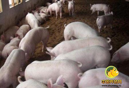 养猪要有含粗纤维的饲料