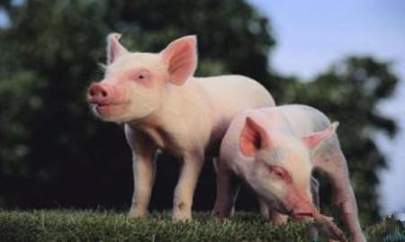 养猪新思路:标准的补铁可能无法满足迅速增长的仔猪的需要