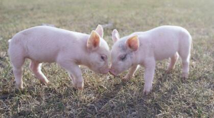 饲料成本全面回落,生猪市场进入最后冲刺期