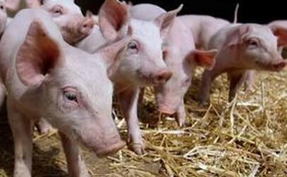 不是养猪人根本看不懂的名词,看看你都知道几个……