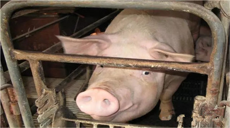 您注意到母猪发病前一直在传递信号了吗?