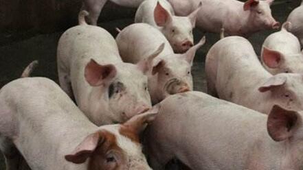 六个措施有效控制养猪场潮湿?来这里看看~