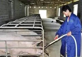 春节期间如何管理猪场?