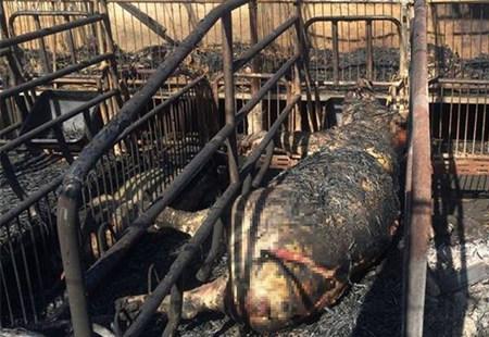 养猪场凌晨起火 上百头猪被烤焦惨不忍睹