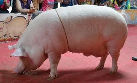 母猪妊娠不容易 产后消炎更重要