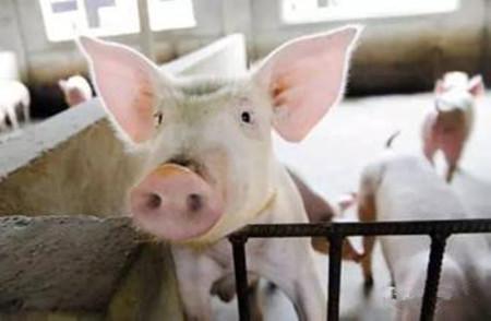 母猪配种后不返情还装怀孕,白白浪费我的饲料!