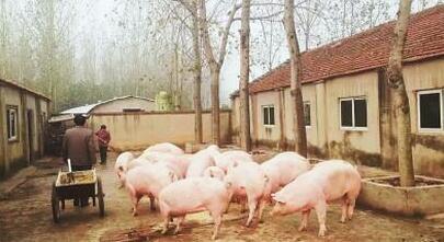 一周综述:杀年猪提振作用有限 猪价震荡调整