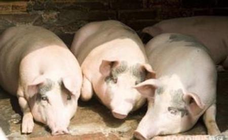 防治猪流感的四个小偏方图片