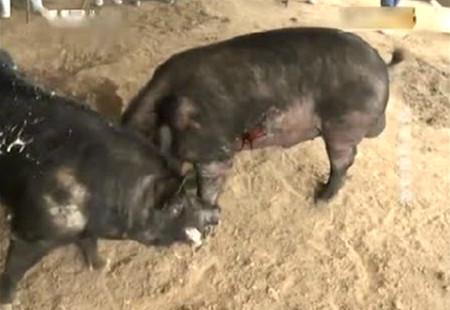 为赢得母猪芳心,两头公猪开始决斗,鲜血直流牙都打掉了