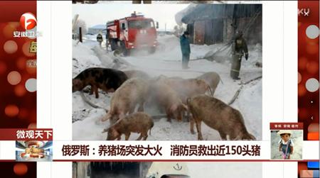 俄罗斯:养猪场突发大火 消防员救出近150头猪