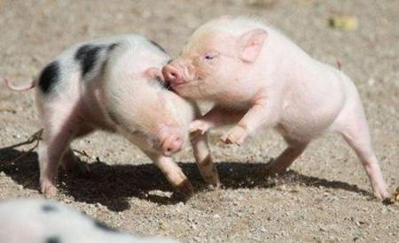面对仔猪水肿病养殖户该怎么办?