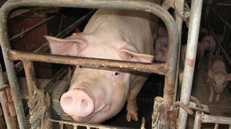 如何充分发挥母猪的生产繁殖性能?
