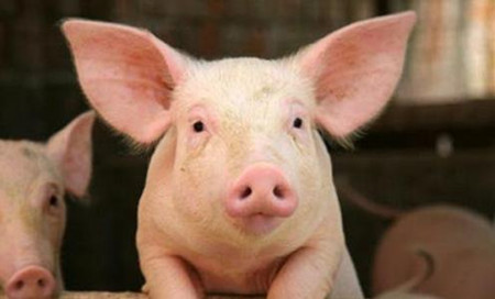 如何能让仔猪出生重大一些呢?介绍给你超实用的母猪攻胎技术!