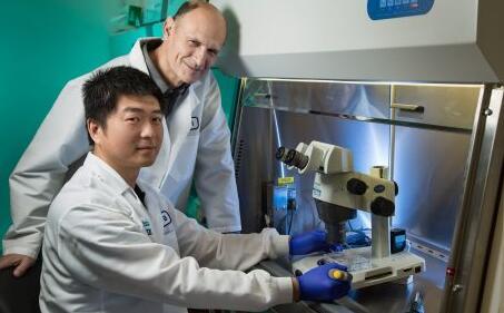 人猪嵌合体胚胎培育成功,在猪体内发育了3到4周……