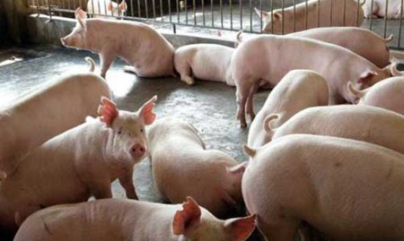 母猪产前低温不食症