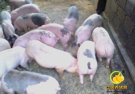 仔猪的并窝与寄养