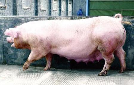 母猪分阶段限喂与微量营养需求间的矛盾